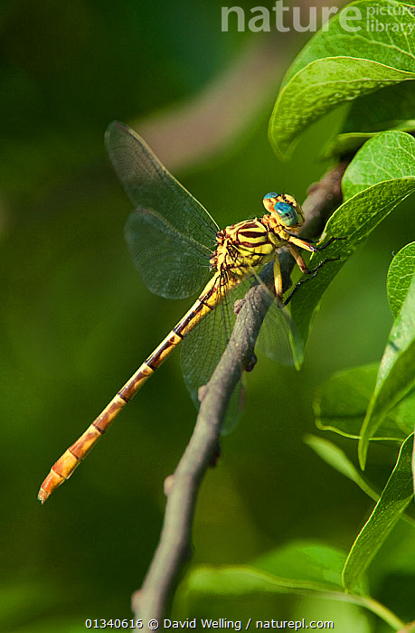 Russet-tipped Clubtail Dragonfly (Stylurus plagiatus) perching on foliage. Rio Grande Calley, Hidalgo County, Texas, USA., ANISOPTERA,ARTHROPODS,INSECTS,INVERTEBRATES,NORTH AMERICA,ODONATA,USA,VERTICAL,YELLOW, David Welling