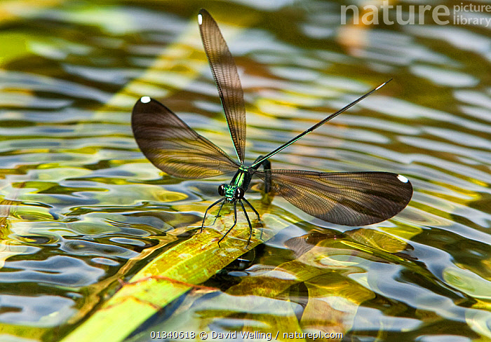 Sparkling Jewelwing (Calopteryx dimidiata) female displaying while perching on a waterplant leaf. Indian Creek, Jasper County, tTexas, USA., ARTHROPODS,DAMSELFLIES,DISPLAY,FEMALES,HABITAT,INSECTS,INVERTEBRATES,MATING BEHAVIOUR,NORTH AMERICA,ODONATA,USA,WATER,WINGS,Communication, David Welling
