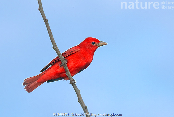Summer Tanager (Piranga rubra) male perching on a branch. South Padre Island, Cameron County, Texas, USA, April., BIRDS,CUTOUT,MALES,NORTH AMERICA,RED,SONGBIRDS,TANAGERS,TEXAS,THRAUPIDAE,USA,VERTEBRATES, David Welling