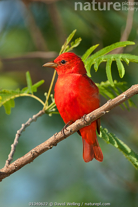 Summer Tanager (Piranga rubra) male perching in a tree. South Padre Island, Cameron County, Texas, USA, April., BIRDS,MALES,NORTH AMERICA,PORTRAITS,RED,SONGBIRDS,TANAGERS,TEXES,THRAUPIDAE,USA,VERTEBRATES,VERTICAL, David Welling