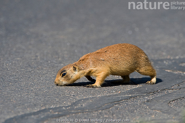 Utah Prairie Dog (Cynomys parvidens) on an asphalt road. Bryce Canyon National Park, Utah, USA, August., CUTE,MAMMALS,NORTH AMERICA,PRAIRIE DOGS,RODENTS,USA,VERTEBRATES, David Welling