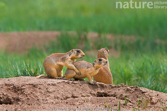 Utah Prairie Dog (Cynomys parvidens) by the entrance to their burrow. Bryce Canyon National Park, Utah, USA, August., CUTE,FAMILIES,HABITAT,MAMMALS,NORTH AMERICA,PRAIRIE DOGS,RODENTS,THREE,USA,VERTEBRATES, David Welling
