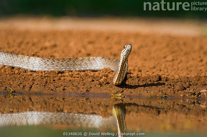 Western Coachwhip Snake (Masticophis flagellum testaceus) by water. Rio Grande Valley, Texas, USA, May., COLUBRIDS, NORTH-AMERICA, REFLECTIONS, REPTILES, SNAKES, USA, VERTEBRATES, WATER,North America, David Welling