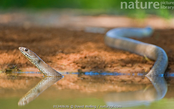 Western Coachwhip Snake (Masticophis flagellum testaceus) in water. Rio Grande Valley, Texas, USA, May., COLUBRIDS, HABITAT, NORTH-AMERICA, REFLECTIONS, REPTILES, SNAKES, USA, VERTEBRATES, WATER,North America, David Welling