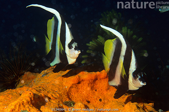 Longfin bannerfish (Heniochus acuminatus) on coral reef, Walindi, Papua New Guinea, BUTTERFLYFISH,FISH,INDO PACIFIC,MARINE,ORANGE,OSTEICHTHYES,SPONGES,TROPICAL,TWO,UNDERWATER,VERTEBRATES, Brent Hedges