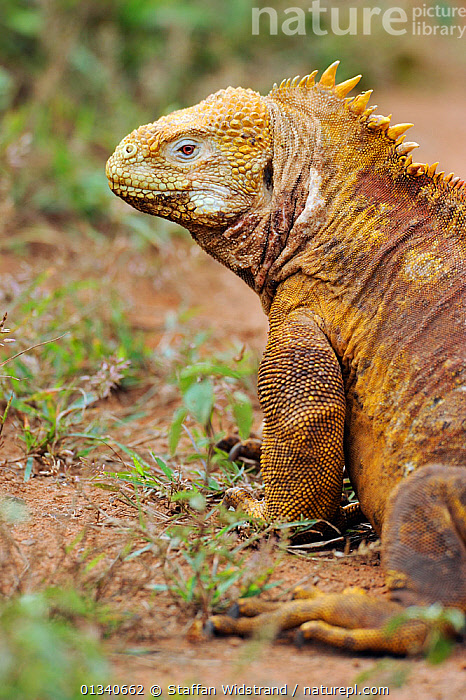 Galapagos Land Iguana (Conolophus subcristatus) head and shoulder in profile showing horny crest. Baltra, Galapagos, Ecuador, April., ECUADOR,GALAPAGOS,IGUANAS,LIZARDS,LOOKING AT CAMERA,PROFILE,REPTILES,SOUTH AMERICA,VERTEBRATES,VERTICAL,,Lizards,,,Lizards,, Staffan Widstrand