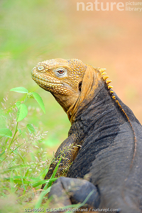 Galapagos Land Iguana (Conolophus subcristatus) looking back towards the camera. Baltra, Galapagos, Ecuador, April., ECUADOR,GALAPAGOS,HEADS,IGUANAS,LIZARDS,REPTILES,SOUTH AMERICA,VERTEBRATES,VERTICAL,,Lizards,,,Lizards,, Staffan Widstrand