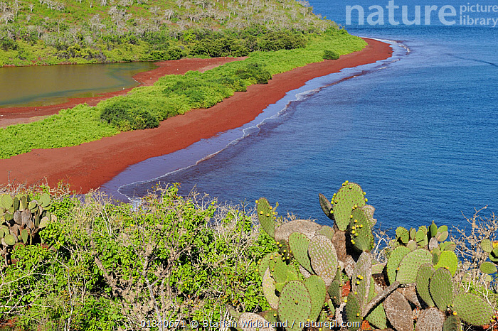 The coast of Rabida Island with red sand beach. Prickly Pear Cacti (Opuntia vuglaris) are in the foreground. Galapagos, Ecuador, April., BEACHES,COASTS,ECUADOR,GALAPAGOS,LANDSCAPES,MARINE,PACIFIC ISLANDS,SOUTH AMERICA,WATER,SOUTH-AMERICA, Staffan Widstrand