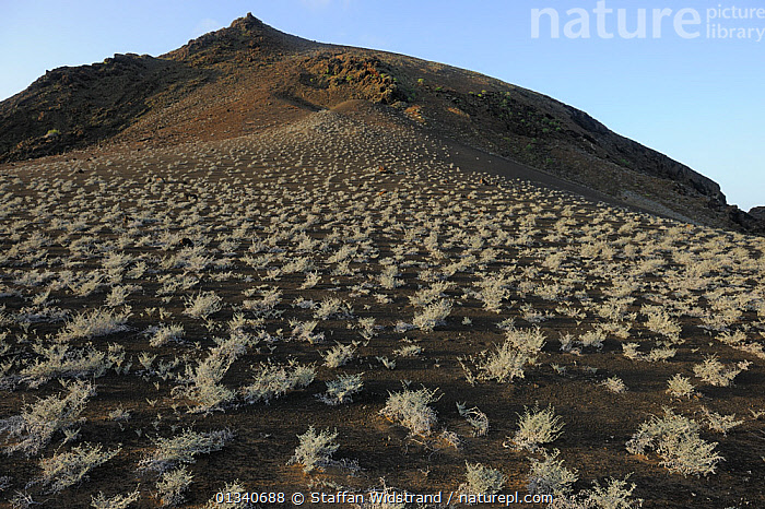 Scrub growing on steep volcanic hillside. Bartholomew Island, Galapagos, Ecuador, April 2010., DESERTS,ECUADOR,GALAPAGOS,ISLANDS,LANDSCAPES,PACIFIC ISLANDS,SOUTH AMERICA,VOLCANOES,Geology, Staffan Widstrand