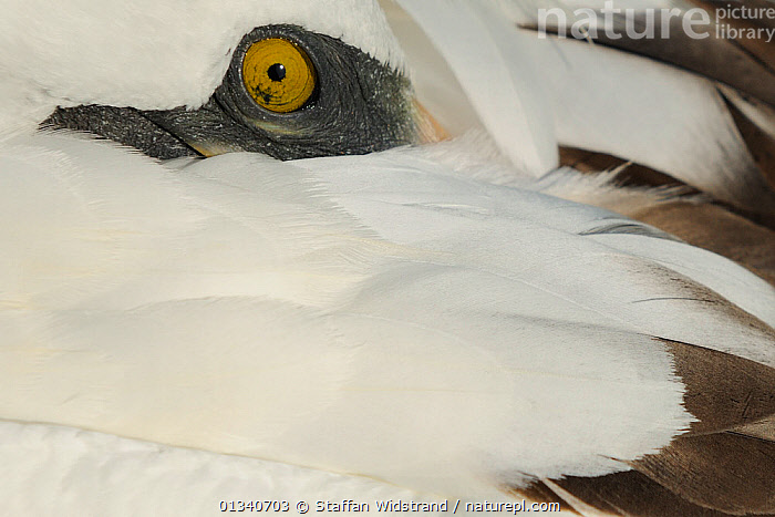 Masked Booby (Sula dactylatra) preening its feathers. Punta Suarez, Espaniola, Galapagos, Ecuador, April., ABSTRACT,BEHAVIOUR,BIRDS,BLUE FACED BOOBY,BOOBIES,CRYPTIC,ECUADOR,EYES,GALAPAGOS,GROOMING,PLUMAGE,SEABIRDS,SOUTH AMERICA,VERTEBRATES,SOUTH-AMERICA, Staffan Widstrand