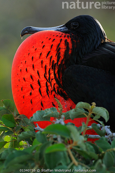 Magnificent Frigate (Fregata magnificens) male displaying by inflating his throat pouch. North Seymour, Galapagos, Ecuador, April., BIRDS,BREEDING,DISPLAY,ECUADOR,FRIGATE BIRDS,FULL FRAME,GALAPAGOS,MALES,MATING BEHAVIOUR,PROFILE,RED,SEABIRDS,SOUTH AMERICA,VERTEBRATES,Communication,SOUTH-AMERICA, Staffan Widstrand