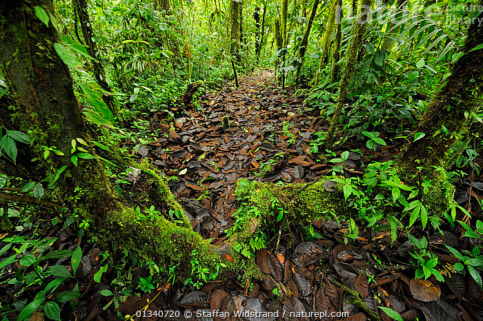 Cloud Forest undergrowth in Manacupuwa Reserve, Ecuador, April., ECUADOR,FORESTS,HABITAT,LEAVES,NP,RESERVE,SOUTH AMERICA,TROPICAL RAINFOREST,UNDERSTOREY,WIDE ANGLE SHOTS,National Park, Staffan Widstrand