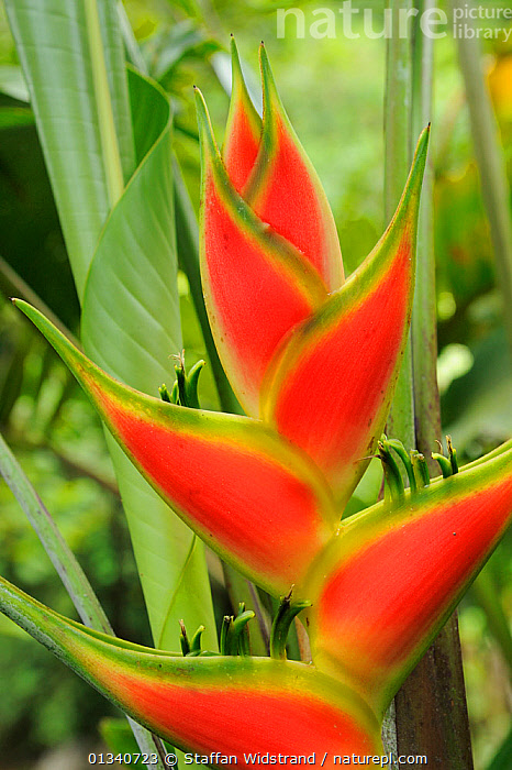Heliconia (Heliconia sp.) flowers. Manacupuwa Reserve, Ecuador, April., ECUADOR,FLOWERS,HELICONIACEAE,MONOCOTYLEDONS,NP,PATTERNS,PLANTS,RED,RESERVE,SOUTH AMERICA,TROPICAL RAINFOREST,VERTICAL,National Park, Staffan Widstrand