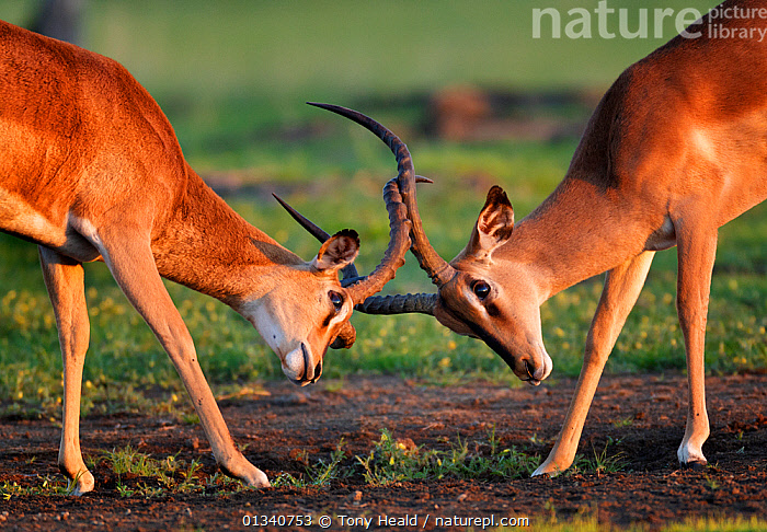 Two male Black-faced Impala (Aepyceros melamis petersi) fighting with interlocked horns. Etosha National Park, Namibia, January., AFRICA,AGGRESSION,ARTIODACTYLA,BEHAVIOUR,BOVIDS,FIGHTING,HABITAT,IMPALAS,MALES,MAMMALS,MATING BEHAVIOUR,NAMIBIA,NP,SOUTHERN AFRICA,TWO,VERTEBRATES,National Park,Antelopes, Tony Heald