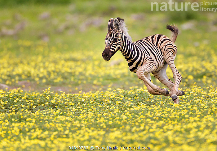 Zebra (Equus quagga) foal running through Devil's Thorn flowers (Tribulus terrestris). Etosha National Park, Namibia, January., ACTION,AFRICA,animal marking,BABIES,BEHAVIOUR,BURCHELL'S ZEBRA,catalogue4,CUTE,DETERMINATION,Devils Thorn Flower,energetic,Etosha National Park,flowering plant,foal,full length,HABITAT,JUVENILE,MAMMALS,namibia,Nobody,NP,on the move,one animal,PERISSODACTYLA,playful,RUNNING,SOUTHERN AFRICA,SPEED,Tribulus terrestris,VERTEBRATES,WILDLIFE,YELLOW,YOUNG,young animal,youthful,ZEBRAS,National Park,Equines, Tony Heald