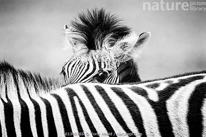Zebra (Equus quagga) foal peering over its mother's striped back. Monochrome. Etosha National Park, Namibia, January., ABSTRACT,AFRICA,animal family,animal head,animal marking,ARTY SHOTS,black and white,BURCHELL'S ZEBRA,catalogue4,close up,Etosha National Park,foal,HABITAT,hiding,JUVENILE,looking at camera,MAMMALS,monochrome,mother babies,namibia,Nobody,NP,PARENTAL,PATTERNS,PERISSODACTYLA,shy,SOUTHERN AFRICA,striped pattern,timid,two animals,VERTEBRATES,WILDLIFE,YOUNG,young animal,ZEBRAS,National Park,Equines, Tony Heald