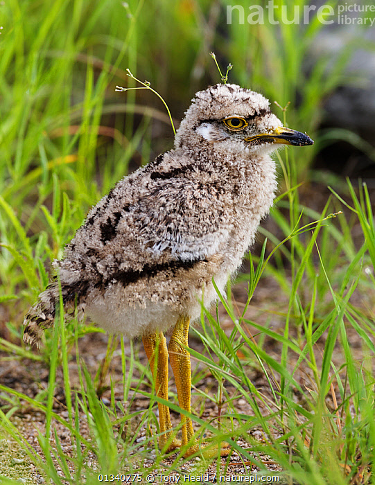 Spotted Thick-Knee / Cape Dikkop (Burhinus capensis) chick. Etosha National Park, Namibia, January., AFRICA,BIRDS,CHICKS,HABITAT,JUVENILE,NAMIBIA,NP,PROFILE,SOUTHERN AFRICA,SPOTTED DIKKOP,STONE CURLEWS,VERTEBRATES,YOUNG,National Park, Tony Heald