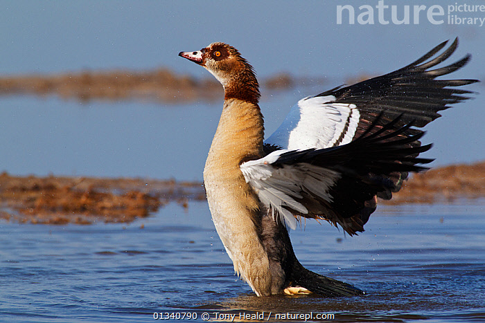 Egyptian Goose (Alopochen aegyptiaca) stretching its wings. Etosha National Park, Namibia, January., AFRICA,BIRDS,DUCKS,GEESE,NAMIBIA,NP,PROFILE,SOUTHERN AFRICA,VERTEBRATES,WATER,WATERFOWL,WINGS,Wildfowl,National Park, Tony Heald