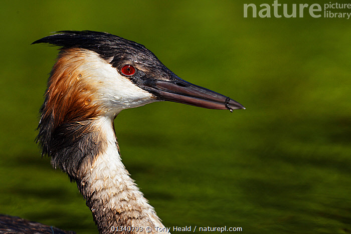 Great Crested Grebe (Podiceps cristatus) head in profile. Cape Town, South Africa, January., AFRICA,BIRDS,GREBES,HABITAT,HEADS,PROFILE,SOUTH AFRICA,SOUTHERN AFRICA,VERTEBRATES,WATERFOWL, Tony Heald