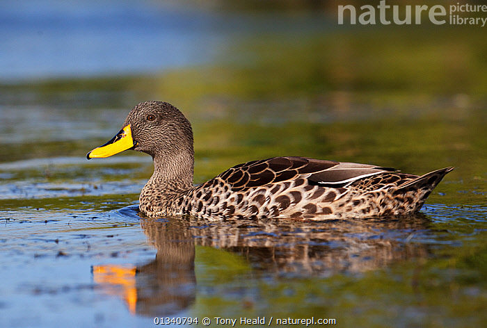 Yellow-Billed Duck (Anas undulata) on water. Cape Town, South Africa, January., AFRICA,BIRDS,DUCKS,PROFILE,SOUTH AFRICA,SOUTHERN AFRICA,VERTEBRATES,WATER,WATERFOWL,Wildfowl, Tony Heald