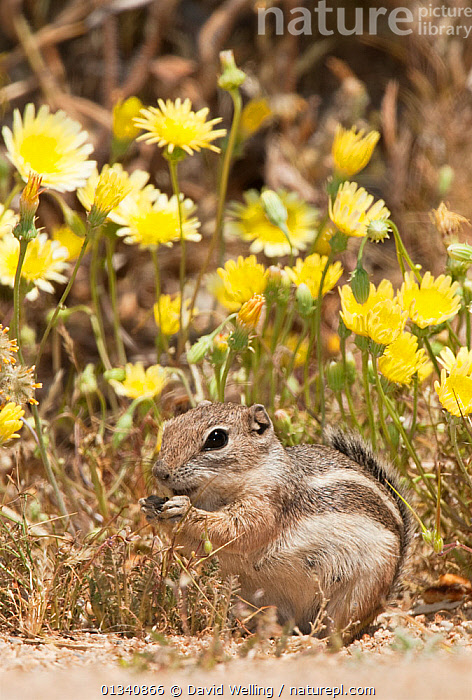 Whitetail Antelope Squirrel (Ammospermophilus leucurus leucurus) feeding in front of wildflowers. Joshua Tree National Park, San Bernardino County, California, USA, May., BEHAVIOUR,CALIFORNIA,CUTE,FEEDING,FLOWERS,NORTH AMERICA,NP,RODENTIA,RODENTS,USA,VERTEBRATES,VERTICAL,National Park,Mammals, David Welling