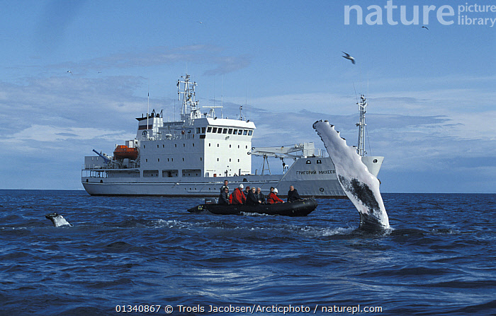 Humpback Whale (Megaptera novaeangliae) fluking, watched by tourists in a zodiac and small cruise ship Grigoriy Mikheev. Lautrabjarg, West Iceland, 2003., ARCTIC,BALAENOPTERIDAE,BEHAVIOUR,BOATS,CETACEANS,EUROPE,ICE BREAKERS,ICELAND,MAMMALS,MARINE,MIXED BOATS,PEOPLE,RIBS,SEA,SURFACE,TENDERS,TOURISM,VERTEBRATES,WHALE WATCHING,WHALES,WORKING BOATS,MOTORBOATS  ,OPEN-BOATS, Troels Jacobsen/Arcticphoto