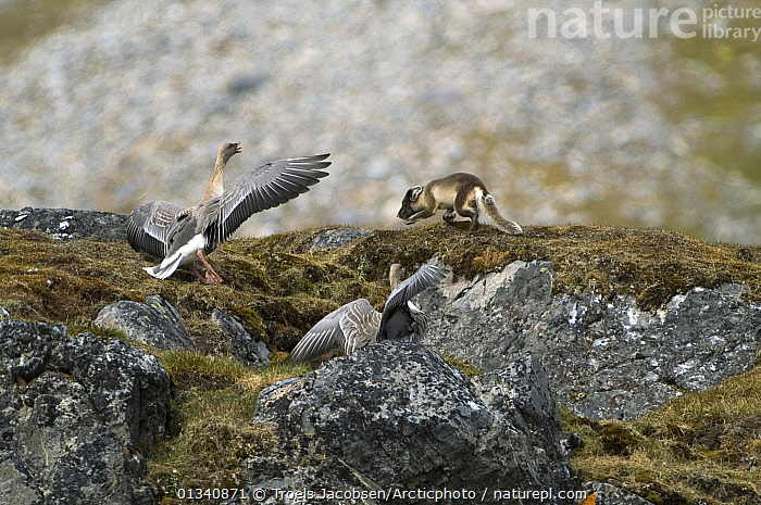 A pair of Pink-footed Geese (Anser brachyrhynchus) driving an Arctic Fox (Vulpes lagopus) away from their nest. Alkhornet, Isfjord, Spitsbergen, Svalbard, 2006., ARCTIC, BEHAVIOUR, BIRDS, chasing, DEFENSIVE, EUROPE, FIGHTING, GEESE, HABITAT, MIXED-SPECIES, NORWAY, Pair, portecting, Svalbard, two, VERTEBRATES, WATERFOWL,Aggression,Scandinavia, Troels Jacobsen/Arcticphoto