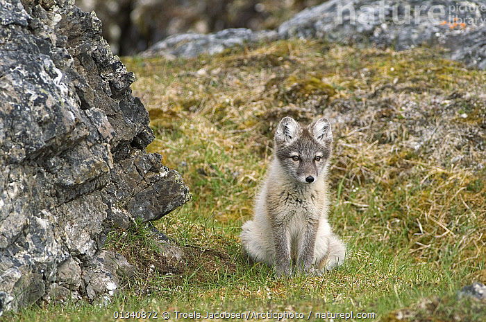 Arctic Fox (Vulpes lagopus) in its summer coat sitting on grass by rocks. Alkhornet, Isfjord, Spitsbergen, Svalbard, 2006., ARCTIC,CANIDS,CARNIVORES,CUTE,EUROPE,FOXES,HABITAT,MAMMALS,NORWAY,SITTING,SVALBARD,VERTEBRATES,Scandinavia,Dogs, Troels Jacobsen/Arcticphoto