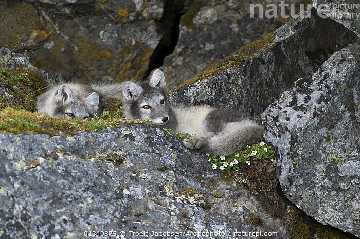 Two Arctic Foxes (Vulpes lagopus) relaxing amongst rocks. Alkhornet, Isfjord, Spitsbergen, Svalbard, 2006., CANIDS,CARNIVORES,CUTE,EUROPE,FAMILIES,FOXES,FRIENDS,MAMMALS,NORWAY,RELAXING,SVALBARD,TWO,VERTEBRATES,Scandinavia,Dogs,Polar, Arctic, Troels Jacobsen/Arcticphoto