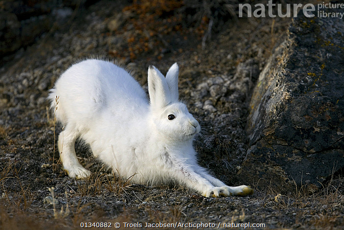 A stretching Arctic Hare (Lepus arcticus) in its winter coat. Scoresbysund, east Greenland, May., ARCTIC,GREENLAND,HARES,LAGOMORPHS,MAMMALS,RELAXING,VERTEBRATES,WHITE, Troels Jacobsen/Arcticphoto