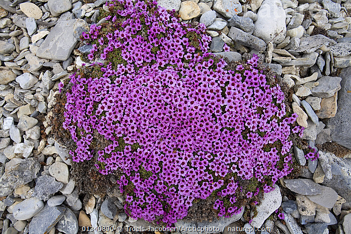 Purple Saxifrage (Saxifraga oppositifolia pulvinata) in flower; this is the cushion form found in wetter places. Svalbard, Europe., DICOTYLEDONS,EUROPE,FLOWERS,PLANTS,PURPLE,SAXIFRAGACEAE,SVALBARD,Polar, Arctic, Troels Jacobsen/Arcticphoto