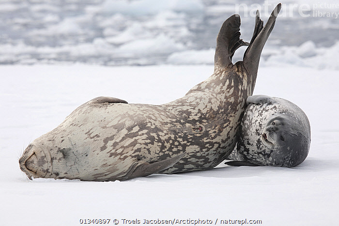 Weddell Seal (Leptonychotes weddellii) mother and pup resting on pack ice. Antarctica, November., AFFECTIONATE,ANTARCTICA,CARNIVORES,CUTE,FAMILIES,HABITAT,ICE,MAMMALS,MARINE,MOTHER BABY,PINNIPEDS,SEALS,TWO,VERTEBRATES, Troels Jacobsen/Arcticphoto