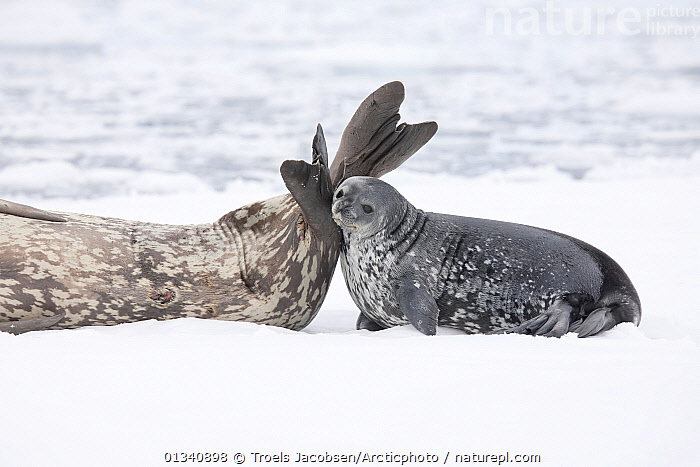 Weddell Seal (Leptonychotes weddellii) pup nuzzles its mother's tail as they rest on pack ice. Antarctica., November., AFFECTIONATE,ANTARCTICA,BABIES,CARNIVORES,CUTE,HABITAT,ICE,JUVENILE,MAMMALS,MARINE,MOTHER BABY,PINNIPEDS,SEALS,VERTEBRATES,YOUNG, Troels Jacobsen/Arcticphoto