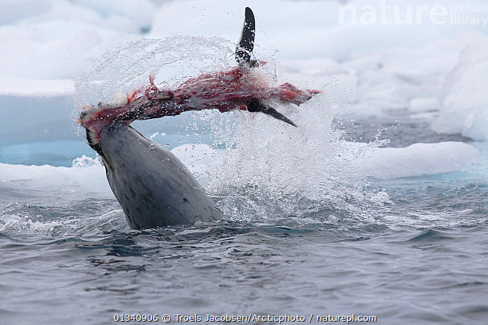 A Leopard Seal (Hydrurga leptonyx) flays a Gentoo Penguin (Pygoscelis papua) by thrashing it to and fro. Antarctica. Sequence Six of six., ANTARCTICA,BEHAVIOUR,CARNIVORES,FEEDING,MAMMALS,MARINE,MIXED SPECIES,PENGUINS,PINNIPEDS,PREDATION,PREY,SEALS,SEQUENCE,SURFACE,VERTEBRATES,WATER, Troels Jacobsen/Arcticphoto