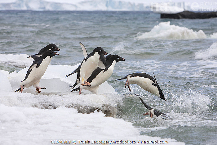Adelie Penguins (Pygoscelis adeliae) diving into the water, on their way out to sea to feed. Brown Bluff. Antarctic Peninsula.  ,  ACTION,ANTARCTICA,BIRDS,FLIGHTLESS,GROUPS,ICE,ICEBERGS,JUMPING,PENGUINS,SEABIRDS,SEAS,SWIMMING,VERTEBRATES,WATER  ,  Troels Jacobsen/Arcticphoto