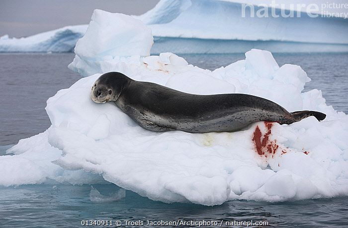 Leopard Seal (Hydrurga loptonyx) resting on ice floes. The faeces is coloured from eating krill. Antarctica., CARNIVORES,EXCRETION,HABITAT,ICE,ICEBERGS,LOOKING AT CAMERA,MAMMALS,MARINE,PINNIPEDS,RESTING,SEALS,VERTEBRATES,WATER, Troels Jacobsen/Arcticphoto