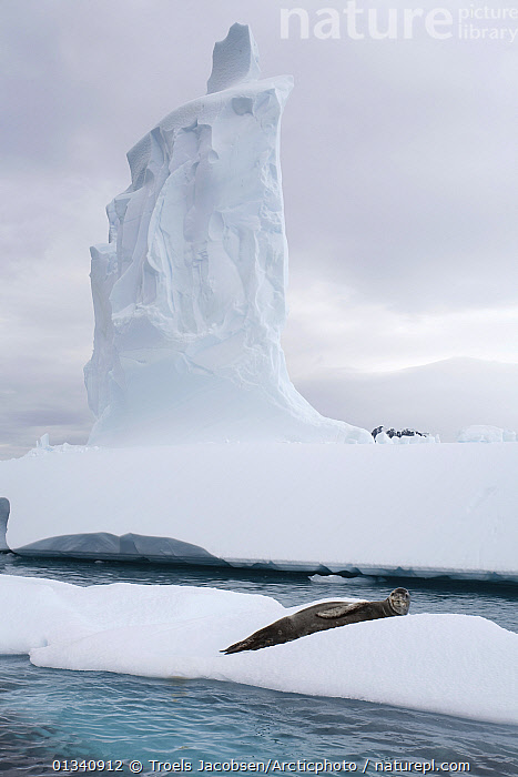 Leopard Seal (Hydrurga leptonyx) resting on an ice floe by a tall pointed iceberg. Antarctica., ANTARCTICA,CARNIVORES,HABITAT,ICE,ICEBERGS,LANDSCAPES,MAMMALS,MARINE,PINNIPEDS,SEALS,SEASCAPES,VERTEBRATES,VERTICAL, Troels Jacobsen/Arcticphoto