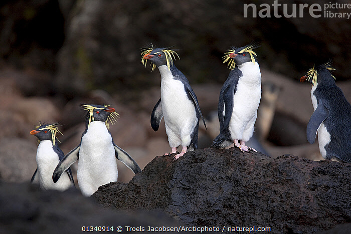 A group of Rockhopper Penguins (Eudyptes chrysocome). The world population of Northern Rockhopper has declined by 90% in the past 60 years. Quest Bay, Gough Island. UNESCO World Heritage site, March., ANTARCTICA, BIRDS, ENDANGERED, FIVE, FLIGHTLESS, GROUPS, PENGUINS, ROCKS, SEABIRDS, small groups, STANDING, VERTEBRATES, Troels Jacobsen/Arcticphoto