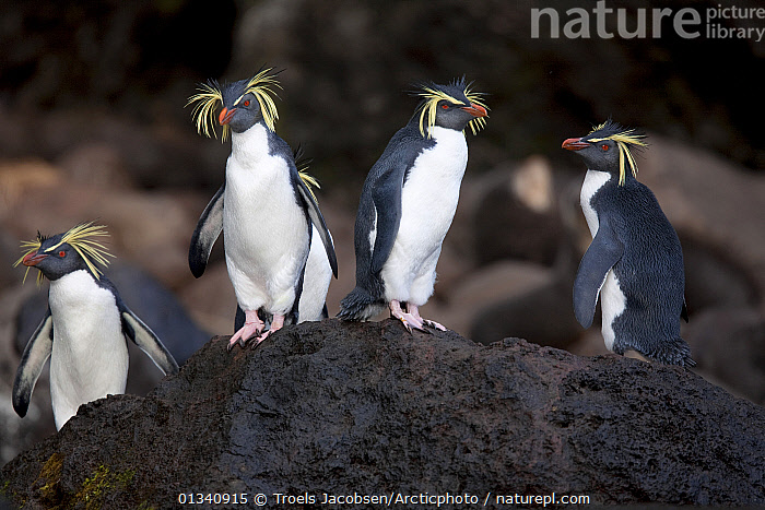 A group of Rockhopper Penguins (Eudyptes chrysocome). The world population of Northern Rockhopper has declined by 90% in the past 60 years. Quest Bay, Gough Island. UNESCO World Heritage site, March., ANTARCTICA, BIRDS, ENDANGERED, FLIGHTLESS, FOUR, GROUPS, PENGUINS, SEABIRDS, small groups, STANDING, VERTEBRATES, Troels Jacobsen/Arcticphoto