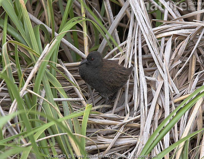 Inaccessible Rail (Atlantisia rogersi) among grasses. This is the smallest flightless bird in the world. Inaccessible Island, Tristan da Cunha group, South Atlantic, March., ATLANTIC ISLANDS,BIRDS,FLIGHTLESS,GRASS,HABITAT,RAILS,TRISTAN DA CUNHA,VERTEBRATES,Plants, Troels Jacobsen/Arcticphoto