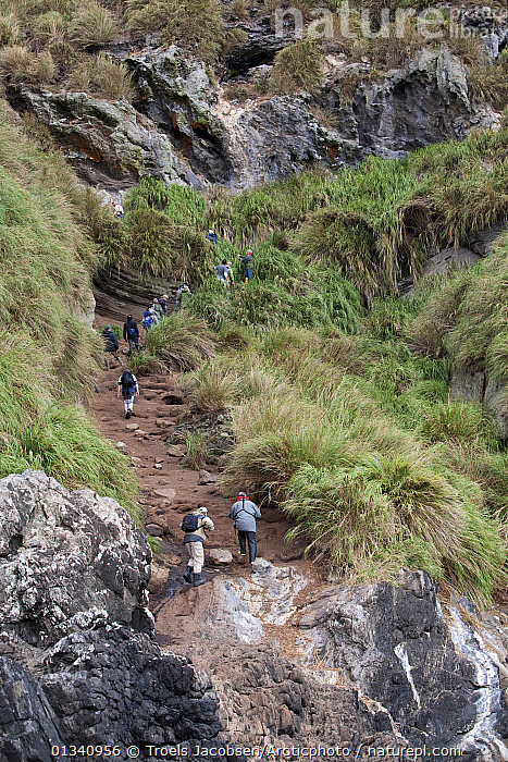 Visitors climb the steep paths on Nightingale Island. Tristan da Cunha group, south Atlantic, March., ATLANTIC ISLANDS,ECOTOURISM,HIKING,LANDSCAPES,LEISURE,MOUNTAINS,OUTDOORS,PEOPLE,TOURISM,TRISTAN DA CUNHA,VERTICAL,WALKING, Troels Jacobsen/Arcticphoto