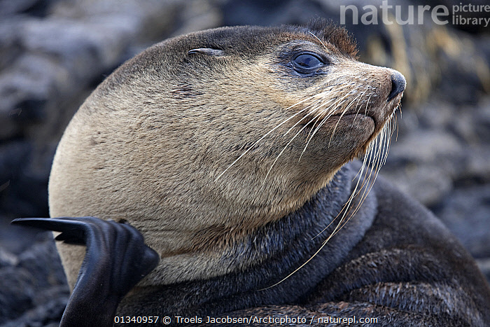 Portrait of a Subantarctic Fur Seal (Arctocephalus tropicalis). Nightingale Island, Tristan da Cunha, south Atlantic, March., ATLANTIC ISLANDS,CARNIVORES,FACES,FULL FRAME,FUR SEALS,HEADS,MAMMALS,PINNIPEDS,PORTRAITS,TRISTAN DA CUNHA,VERTEBRATES, Troels Jacobsen/Arcticphoto
