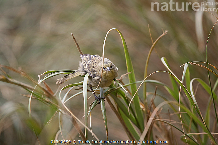 Tristan Bunting / Inaccessible Finch / Nightingale Finch (Nesospiza acunhae) on grass stems. Nightingale Island, Tristan da Cunha, south Atlantic, March., ATLANTIC-ISLANDS, BIRDS, BUNTINGS, FINCHES, HABITAT, tristan-da-cunha, VERTEBRATES, Troels Jacobsen/Arcticphoto