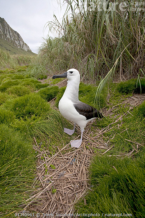 Yellow-nosed Albatross (Thalassarche chlororhynchus) standing on grassed ground. Nightingale Island, Tristan da Cunha, south Atlantic, March., ALBATROSSES,ATLANTIC ISLANDS,BIRDS,DIOMEDEA CHLORORHYNCHOS,HABITAT,PORTRAITS,SEABIRDS,TRISTAN DA CUNHA,VERTEBRATES,VERTICAL, Troels Jacobsen/Arcticphoto