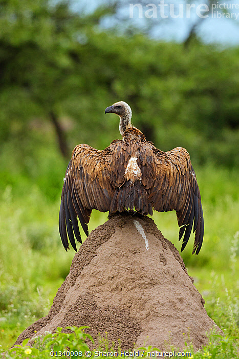 White-Backed Vulture (Gyps africanus) drying wings after rain, perched on a termite mound. Etosha National Park, Namibia, January., AFRICA,BEHAVIOUR,BIRDS,HABITAT,NAMIBIA,NP,SOUTHERN AFRICA,VERTEBRATES,VERTICAL,VULTURES,National Park, Sharon Heald