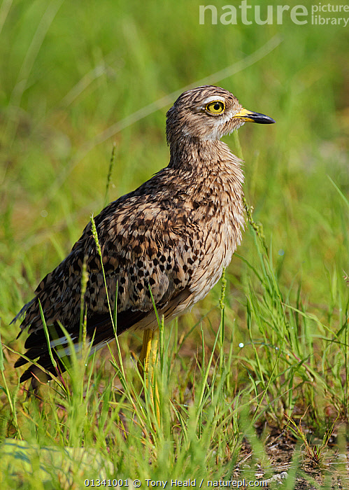 Spotted Thick-Knee / Cape Dikkop (Burhinus capensis) in profile. Etosha National Park, Namibia, January., AFRICA,BIRDS,NAMIBIA,NP,PROFILE,SOUTHERN AFRICA,SPOTTED DIKKOP,STONE CURLEWS,VERTEBRATES,VERTICAL,National Park, Tony Heald