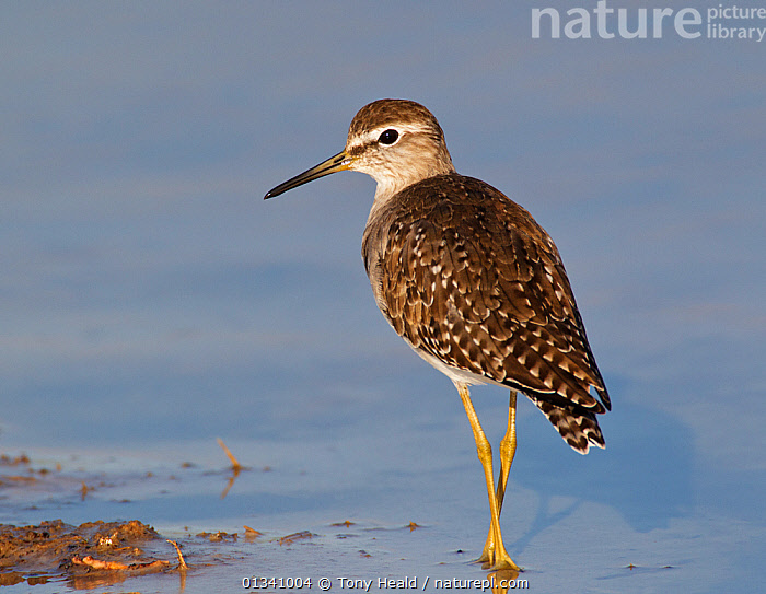 Wood Sandpiper (Tringa glareola) by water. Etosha National Park, Namibia, January., AFRICA,BIRDS,NAMIBIA,NP,SANDPIPERS,SOUTHERN AFRICA,VERTEBRATES,WADERS,WATER,National Park, Tony Heald