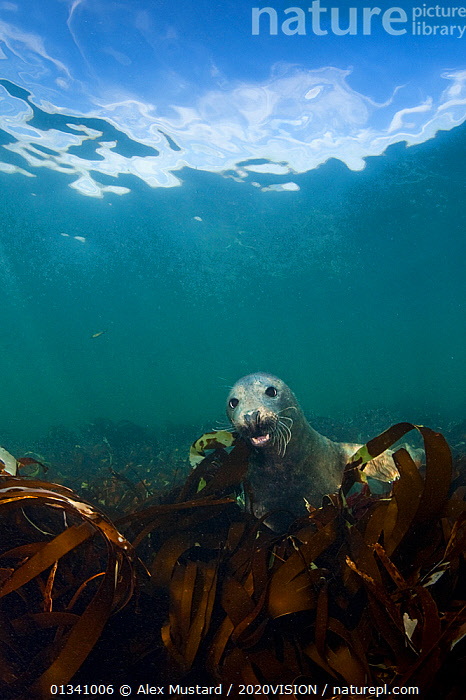 Grey seal (Halichoerus grypus) swimming amongst kelp, Farne Islands, Northumberland, England, UK, August, 2020VISION,ATLANTIC,ENGLAND,EUROPE,FARNE ISLANDS,FARNES,GRAY,GRYPUS,HALICHOERUS,MAMMALS,MARINE,NORTH SEA,NORTHUMBERLAND,PHOCIDAE,SEALS,SEAS,SEAWEED,TEMPERATE,UK,UK09_AM 14446,UNDERWATER,VERTEBRATES,VERTICAL,Plants,United Kingdom, Alex Mustard / 2020VISION