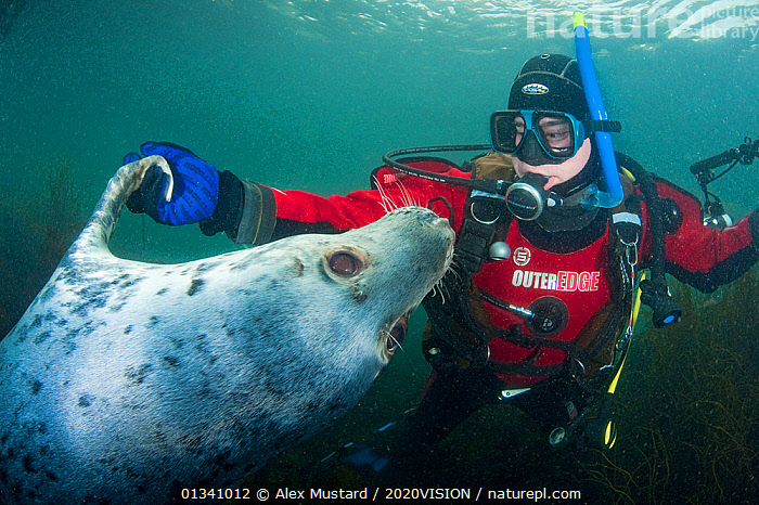 Grey seal (Halichoerus grypus) interacting with a diver, Lundy Island, Bristol Channel, England, UK, May, 2020VISION,BEHAVIOUR,BRISTOL CHANNEL ,DEVON,DIVING,ENGLAND,EUROPE,GRAY,HOLDING HANDS,INTERACTION,LUNDY ISLAND MNR,MAMMALS,MARINE,PEOPLE,PHOCIDAE,PINNIPEDS,PLAY,PLAYFUL,PLAYING,RESERVE,SEALS,SEAS,SWIMMING,TEMPERATE,UK,UK09_MUSTARD 11715,UNDERWATER,VERTEBRATES,CARNIVORES ,Communication,United Kingdom, Alex Mustard / 2020VISION