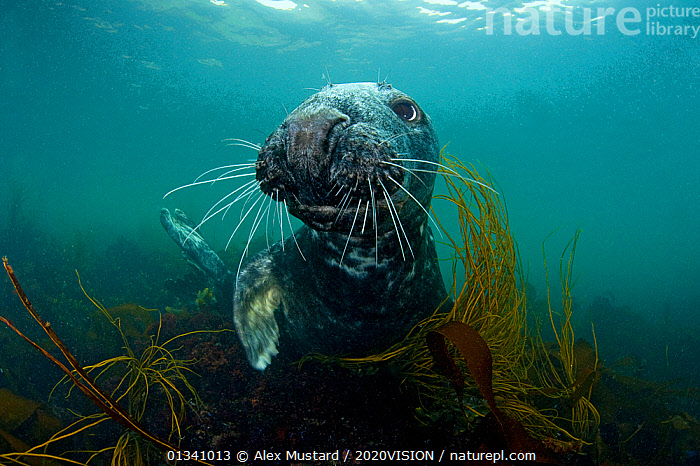 Grey seal (Halichoerus grypus) portrait underwater amongst seaweed, Lundy Island, Bristol Channel, England, UK, May, 2020VISION,ALGAE,BRISTOL CHANNEL ,DEVON,ENGLAND,EUROPE,GRAY,LUNDY ISLAND MNR,MAMMALS,MARINE,PHOCIDAE,PINNIPEDS,PORTRAITS,RESERVE,SEALS,SEAS,SEAWEEDS,SWIMMING,TEMPERATE,UK,UK09_MUSTARD 11722,UNDERWATER,VERTEBRATES,WHISKERS,Plants,CARNIVORES ,United Kingdom, Alex Mustard / 2020VISION